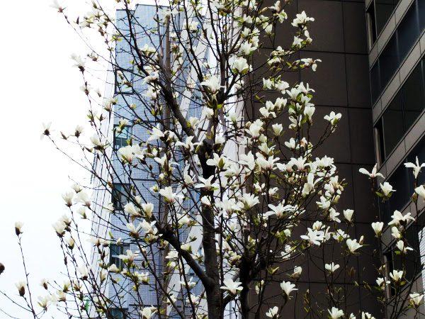 白い花が満開のコブシの木