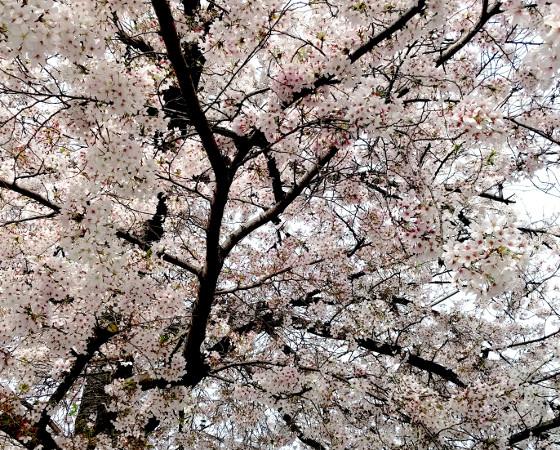 桜の正しい切り方-トップ画像-