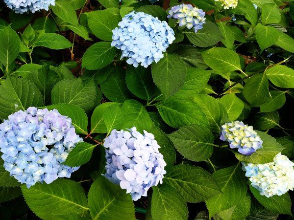 6月に咲いていた青色の花のアジサイ