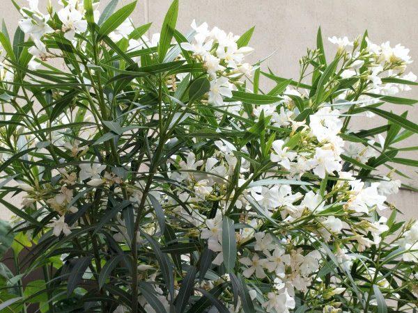 6月に咲いていたキョウチクトウの白い花【毒性有り】