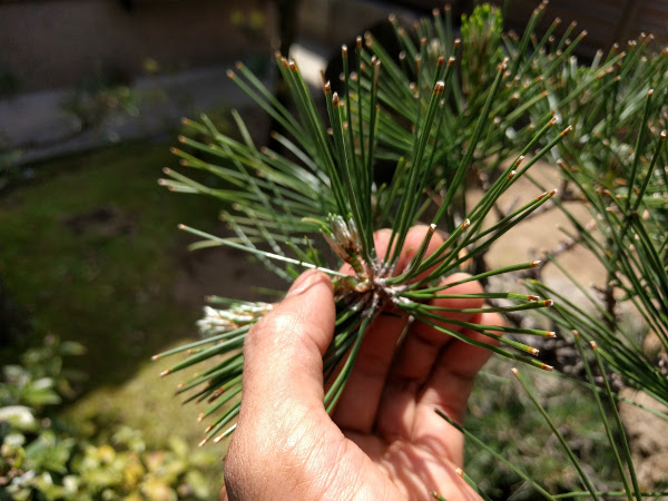 松の新芽(みどり)を手で折る