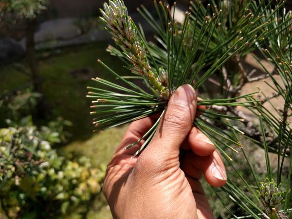 伸びた松の新芽(みどり)