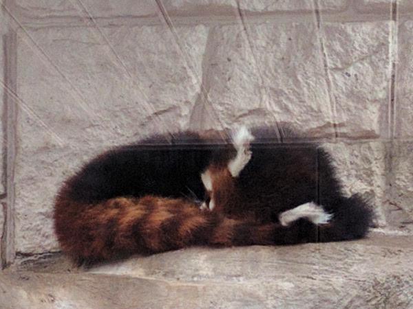 園内のレッサーパンダ