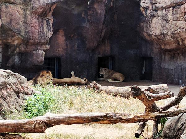 園内のライオン